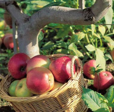Golden appels of the Limousin