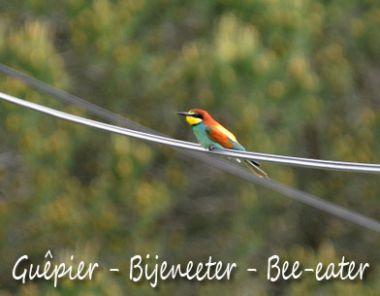 Guêpier - Bee-eater - Bijeneeter