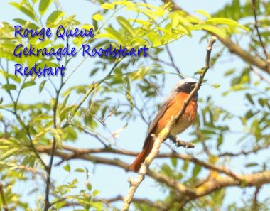 Rouge Queue - Redstart - Gekraagde Roodstaart