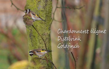 Chardonneret élégant - Distelvink - Goldfinch