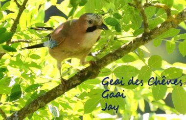 Geai des Chênes - Gaai - Jay