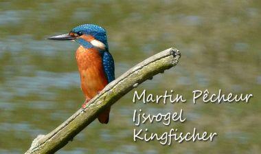 Martin Pêcheur - Ijsvogel - Kingfischer
