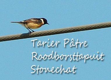 Tarier Pâtre - Roodborsttapuit - Stonechat