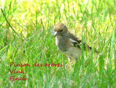 Pinson des Arbres - Vink - Chatfinch