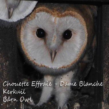 Chouette Effraie / Dame Blanche - Kerkuil - Barn Owl