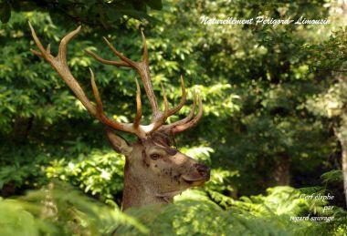Het majestueuze hert in Limousine bossen