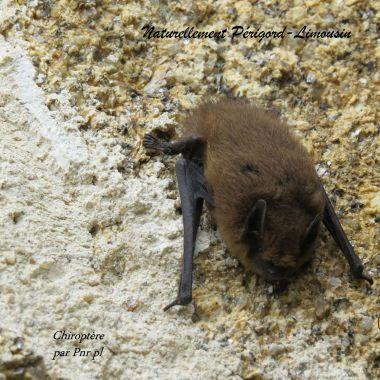 Een vleermuis, berschermd in de Perigord
