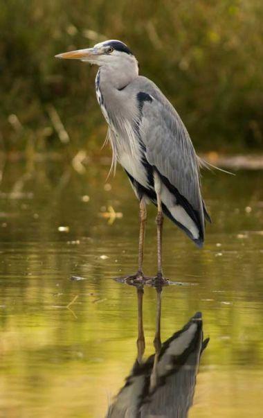 un héron cendré surveille les étangs