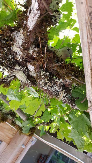 De tortelduif in haar nest