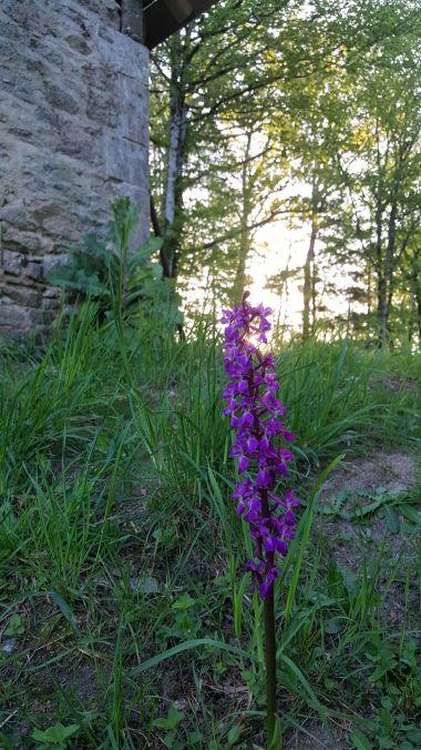 Orchidées sauvages en pleine nature
