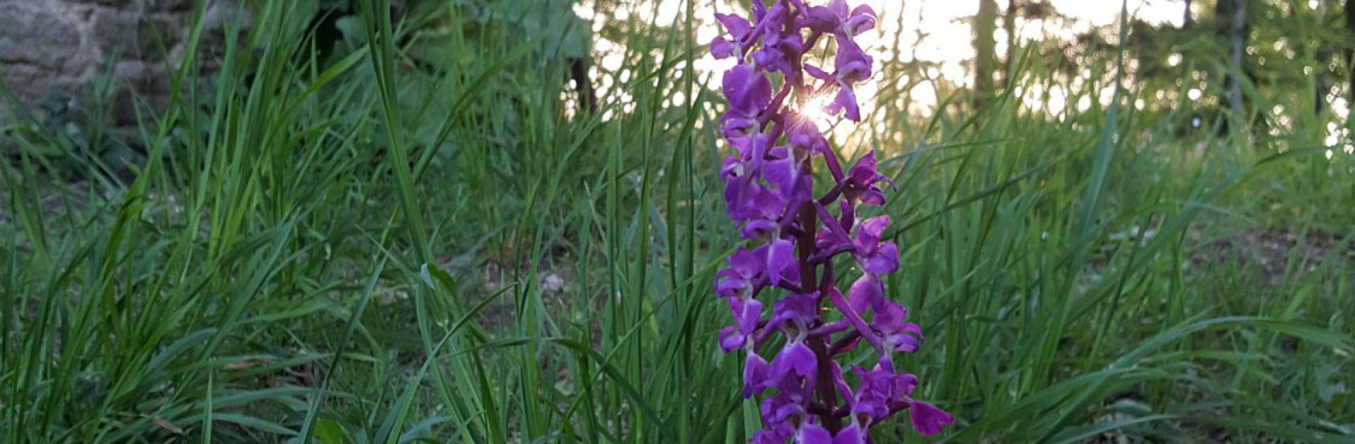 Orchidées fleurs sauvages Périgord Vert